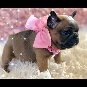 Hobby Breeder of French Bulldogs